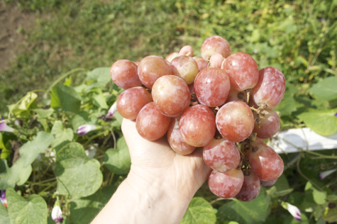 Then in September, these enormous seeded Red Globe Grapes were on Westchester Greenhouse's shelves.