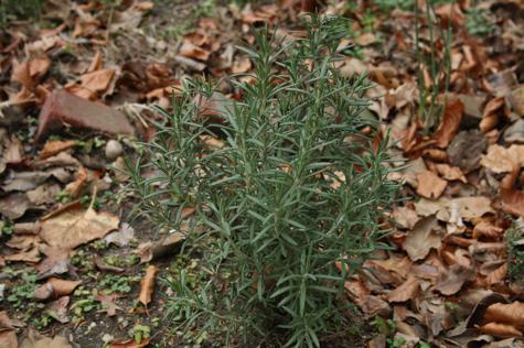 gardenrosemary