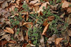 gardenthyme